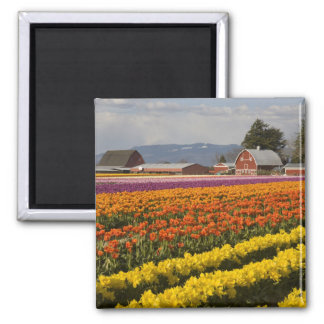 WA, valle de Skagit, tulipán coloca en la floració Imán Cuadrado