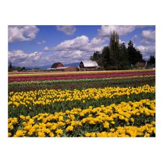 WA, valle de Skagit, tulipán del valle de Skagit Tarjetas Postales