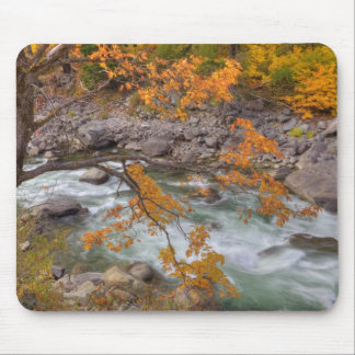 WA, Wenatchee National Forest, Maple tree and Mouse Pad