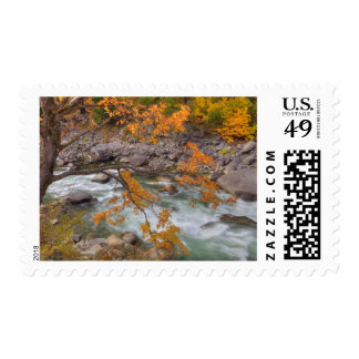 WA, Wenatchee National Forest, Maple tree and Postage