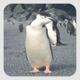 Waddle del pingüino de Chinstrap Pegatina Cuadrada