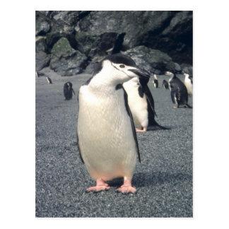 Waddle del pingüino de Chinstrap Postales