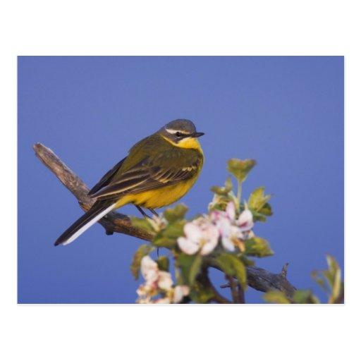 Wagtail amarillo, flava del Motacilla, varón en Tarjetas Postales