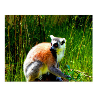wait for love and joy ring tailed lemur prosimians postcard