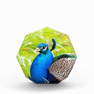 wait for love peafowl peacock acrylic award