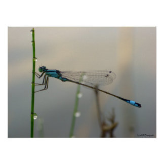 Waiting, Blue Damselfly close up Poster