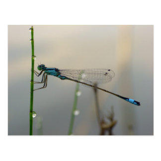 Waiting, Blue Damselfly macro Postcard