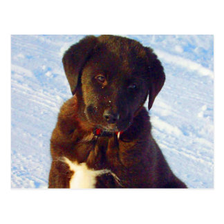 Waiting for mom love black white labrador puppy postcard