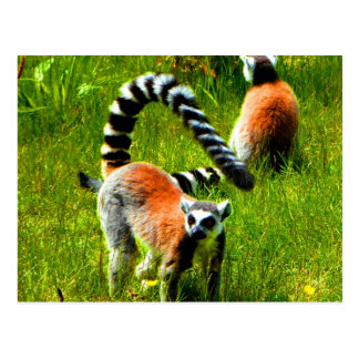 Waiting for my love ring tailed lemur prosimians postcard
