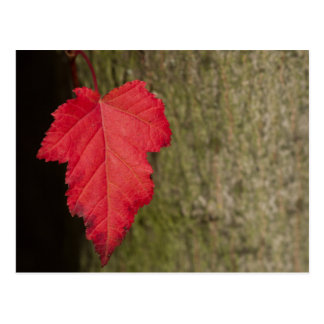 Waiting for the inevitable: Red Leaf in the Fall Postcard