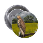Waiting for the Storm - Red tail Hawk Pinback Button