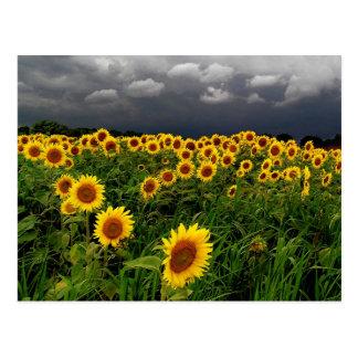 Waiting, Sunflower field, storm clouds Post Cards