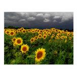 Waiting, Sunflower field, storm clouds Postcard