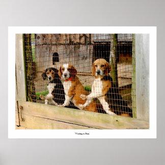 'Waiting to Run'  Beagle Print