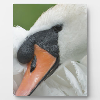 Waking swan photo plaques