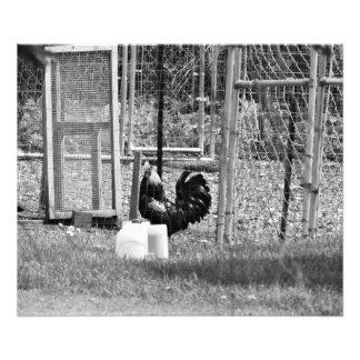 Walk Like a Chicken Photo Print