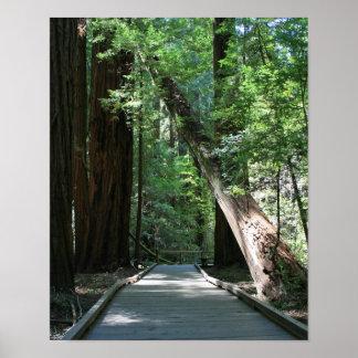 """Walking amongst Giants"", Muir Woods Posters"