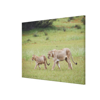 walking lioness with cubs, lion, Panthera leo, Canvas Print