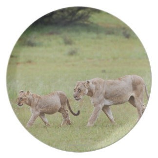 walking lioness with cubs, lion, Panthera leo, Dinner Plate