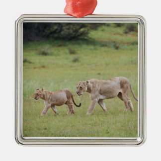 walking lioness with cubs, lion, Panthera leo, Metal Ornament