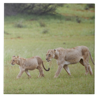 walking lioness with cubs, lion, Panthera leo, Tile