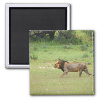 walking male lion, Panthera leo, Kgalagadi 2 Inch Square Magnet