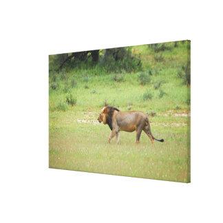 walking male lion, Panthera leo, Kgalagadi Canvas Print