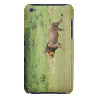 walking male lion, Panthera leo, Kgalagadi iPod Touch Case-Mate Case