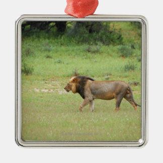 walking male lion, Panthera leo, Kgalagadi Metal Ornament