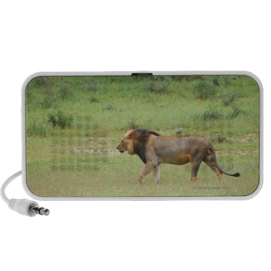 walking male lion, Panthera leo, Kgalagadi Mini Speaker