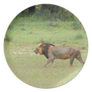 walking male lion, Panthera leo, Kgalagadi Plate