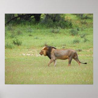 walking male lion, Panthera leo, Kgalagadi Poster