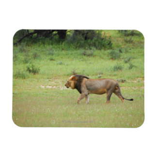 walking male lion, Panthera leo, Kgalagadi Rectangular Photo Magnet