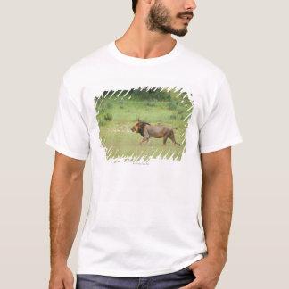 walking male lion, Panthera leo, Kgalagadi T-Shirt