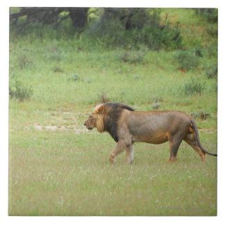 walking male lion, Panthera leo, Kgalagadi Large Square Tile