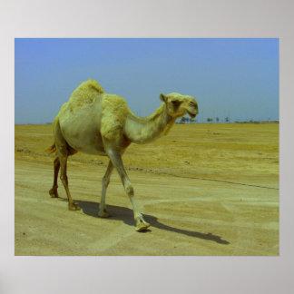 Walking the long road - camels on Failaka island Print