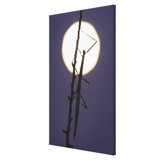 walkingstick and full moon in south Texas, USA Canvas Print