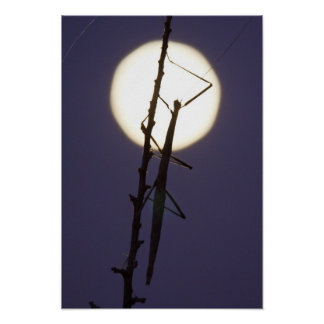 walkingstick and full moon in south Texas, USA Poster