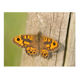 Wall Brown Butterfly Postcard