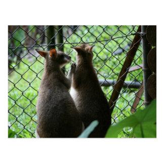 Wallabies Postcard
