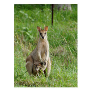 WALLABY AND JOEY RURAL QUEENSLAND AUSTRALIA POSTCARD