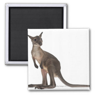 Wallaby - Macropus robustus (3 months old) 2 Inch Square Magnet