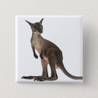 Wallaby - Macropus robustus (3 months old) Button