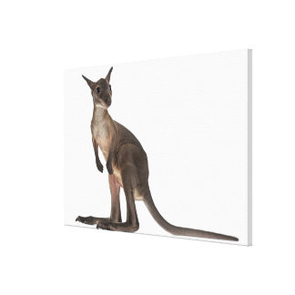 Wallaby - Macropus robustus (3 months old) Canvas Print