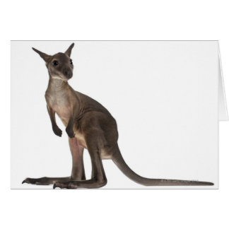 Wallaby - Macropus robustus (3 months old) Card