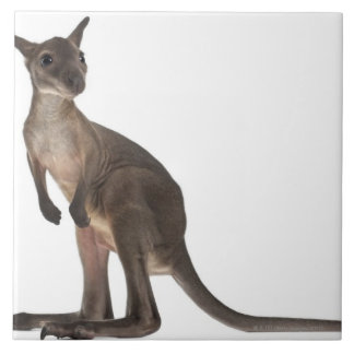 Wallaby - Macropus robustus (3 months old) Ceramic Tile