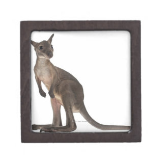 Wallaby - Macropus robustus (3 months old) Gift Box