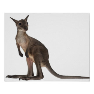 Wallaby - Macropus robustus (3 months old) Poster