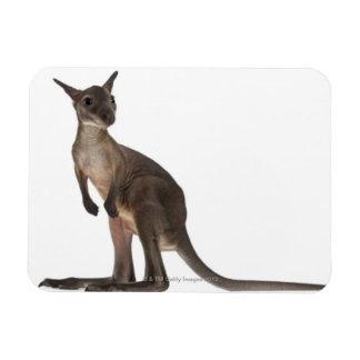 Wallaby - Macropus robustus (3 months old) Rectangular Photo Magnet