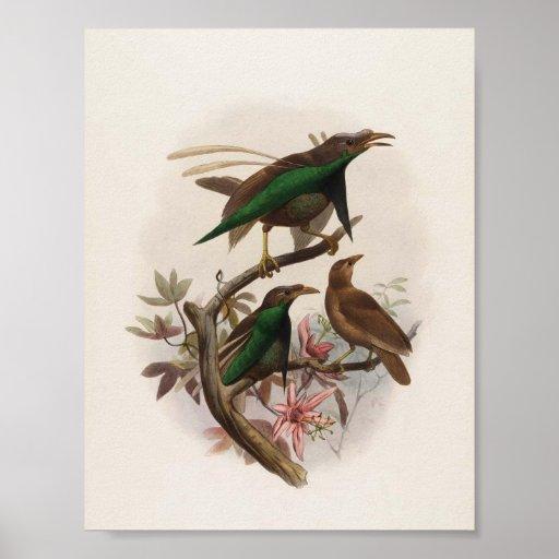 Wallacii de Semioptera - la ave del paraíso de Wal Posters